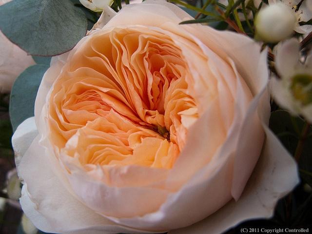 Купить пионовидные розы в розницу